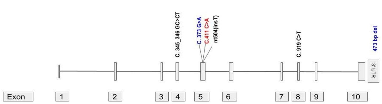 Gene structure of FKTN (Fukutin) gene (NM_006731, Exons 10) with previously reported exonic mutations for WWS. Variants in Black are homozygous in nature, blue represents compound heterozygous variants, and exonic homozygous mutation identified in this case is coloured Red.