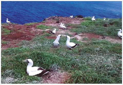 Breeding colony of Sula dactylatra located at the end of the Capim-açu trail, main island of Fernando de Noronha archipelago, September 2015. Photo: Deborah Gutierrez, 2015.