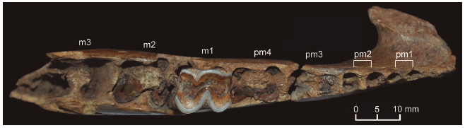 Neolicaphrium recens. Occlusal view of the right hemimandible (MPAT073).