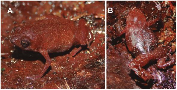 Holotipo de Chiasmocleis parkeri (MEPN 14223, macho adulto 14.93 mm LRC, Sachavaca-Naranjilla, Provincia Zamora Chinchipe. Foto: J. Brito.