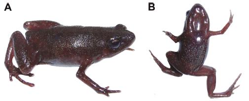 Chiasmocleis parkeri, variación de color en vida, hembra adulta MEPN 14219.