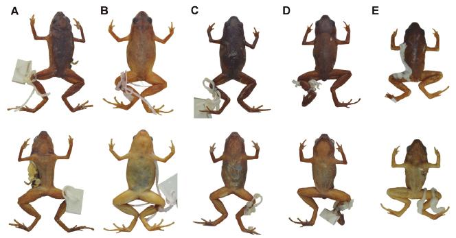 Variación en preservado del patrón de coloración dorsal y ventral de Chiasmocleis parkeri. Paratipos: (A) MEPN 12678 y (B) MEPN 13268 (hembras adultas), (C) MEPN 13257 y (D) MEPN 13264 (machos adultos), (E) QCAZ 41608 (macho juvenil).