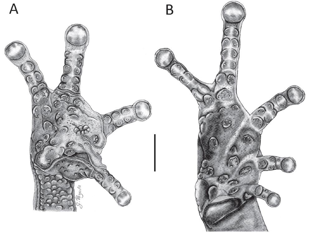 Mano y pie de Pristimantis muranunka sp. nov. (MEPN 14721) (A) = vista palmar, (B) = vista plantar. Nótese la presencia de granulaciones pequeñas en los tubérculos supernumerarios. Barra: 1 mm. Ilustraciones: G. Pozo.