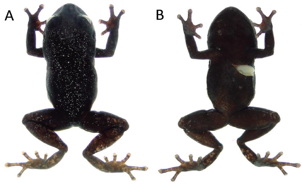 Pristimantis muranunka sp. nov., en preservado. A = vista dorsal y B = vista ventral del holotipo MEPN 14721, hembra adulta, LRC = 22.0 mm. Fotografías: J. Brito.