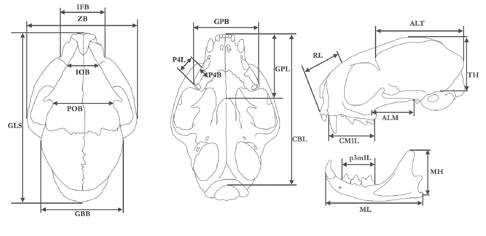 "Dorsal, ventral and lateral view of skull and lateral view of mandible of an tigrina (L. tigrinus), showing 19 craniometrical variables used in the study. The abbreviations assigned to craniometrical variables correspond to those mentioned in the ""Materials and methods"" section of the text. Image: Guilherme S.T. Garbino."