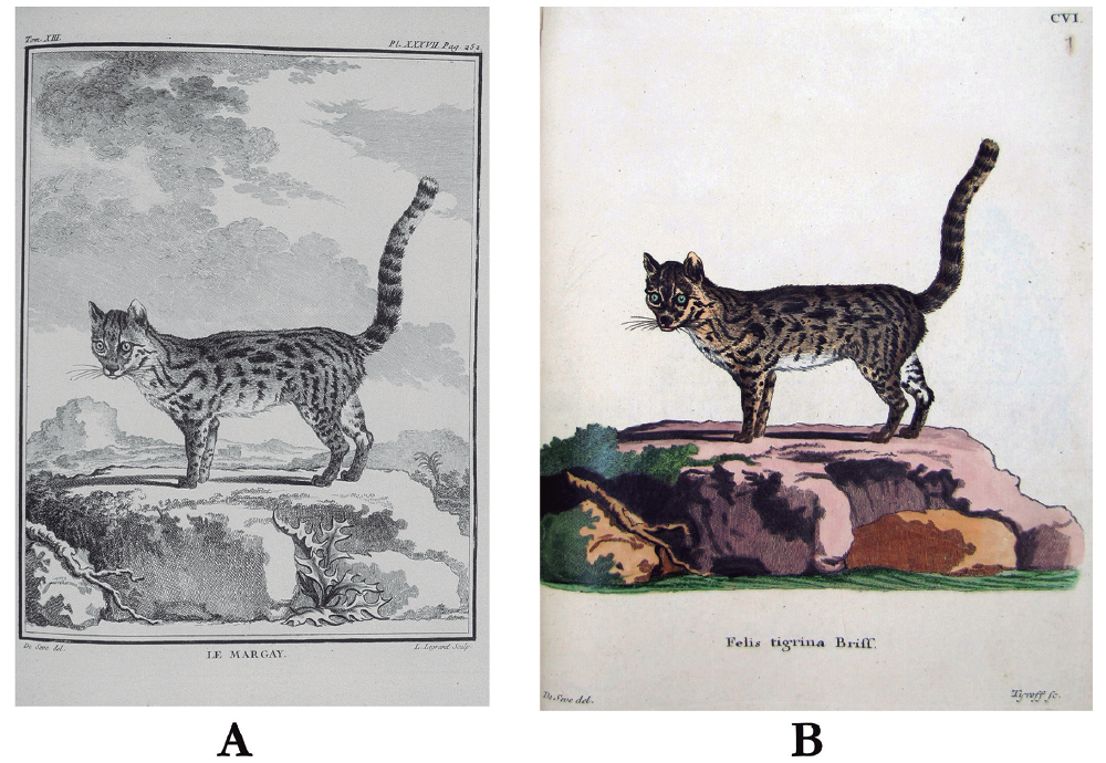 "Reproduction of the original plates: (A): ""Le Margay"" of Buffon (1765) (obtained from Gallica - Bibliothèque Nationale de France), the lectotype of the species; and (B): Felis tigrina of Schreber (1775). For color figure, see online version."