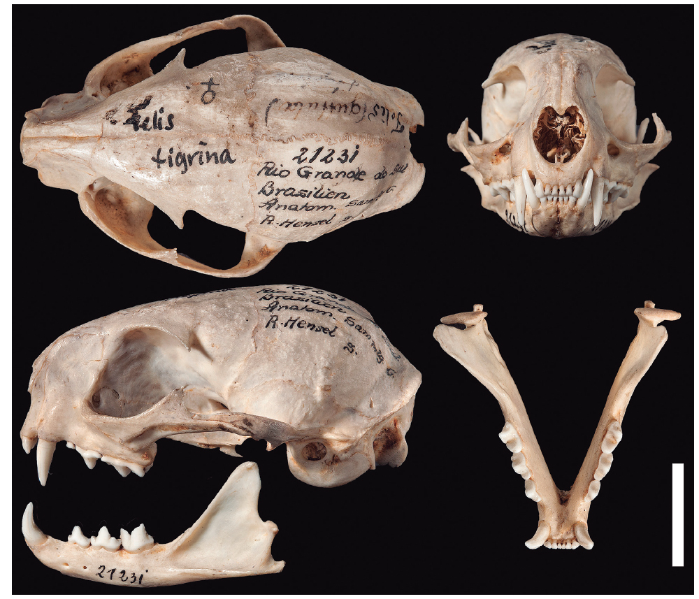 The skull of one of the syntypes of L. guttulus (Hensel, 1872), the specimen ZMB-MAM21231 (female?). Bar = 20 mm. Photo: Carola Radke (Museum für Naturkunde, Berlin, Germany). For color figure, see online version.