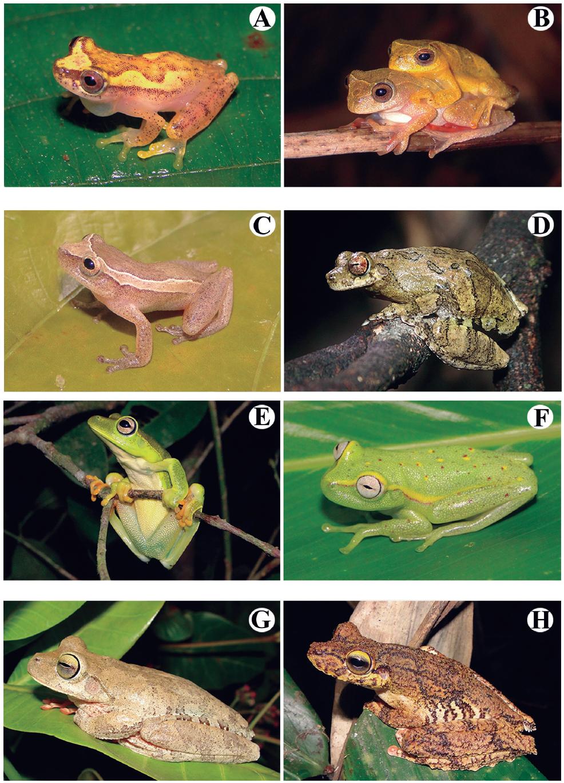 Amphibians species recorded at the Serra do Urubu mountain range. (A) Dendropsophus haddadi, (B) Dendropsophus minutus, (C) Dendropsophus oliveirai, (D) Dendropsophus soaresi, (E) Boana albomarginata, (F) Boana atlantica, (G) Boana crepitans, (H) Boana exastis.