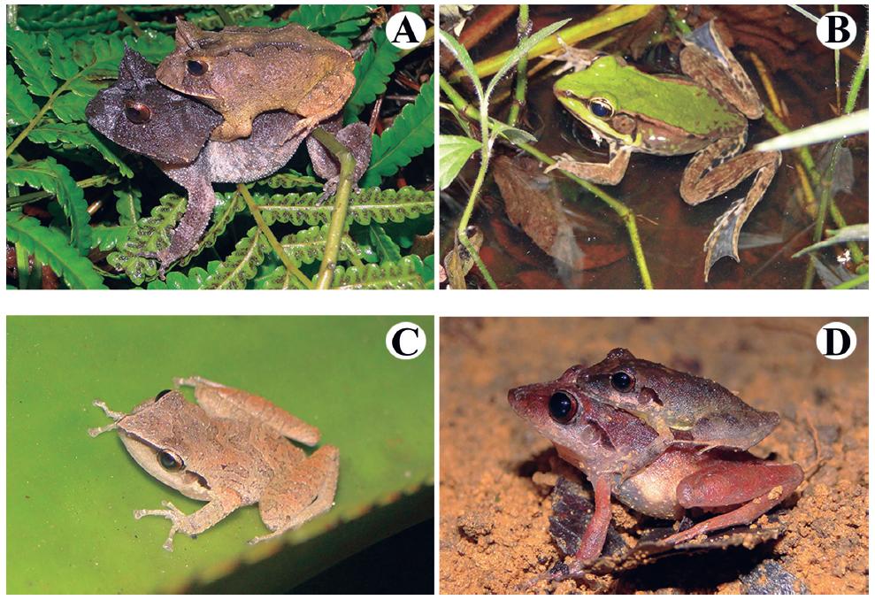 Amphibians species recorded at the Serra do Urubu mountain range. (A) Proceratophrys renalis, (B) Lithobates palmipes, (C) Pristimantis ramagii, (D) Pristimantis sp.