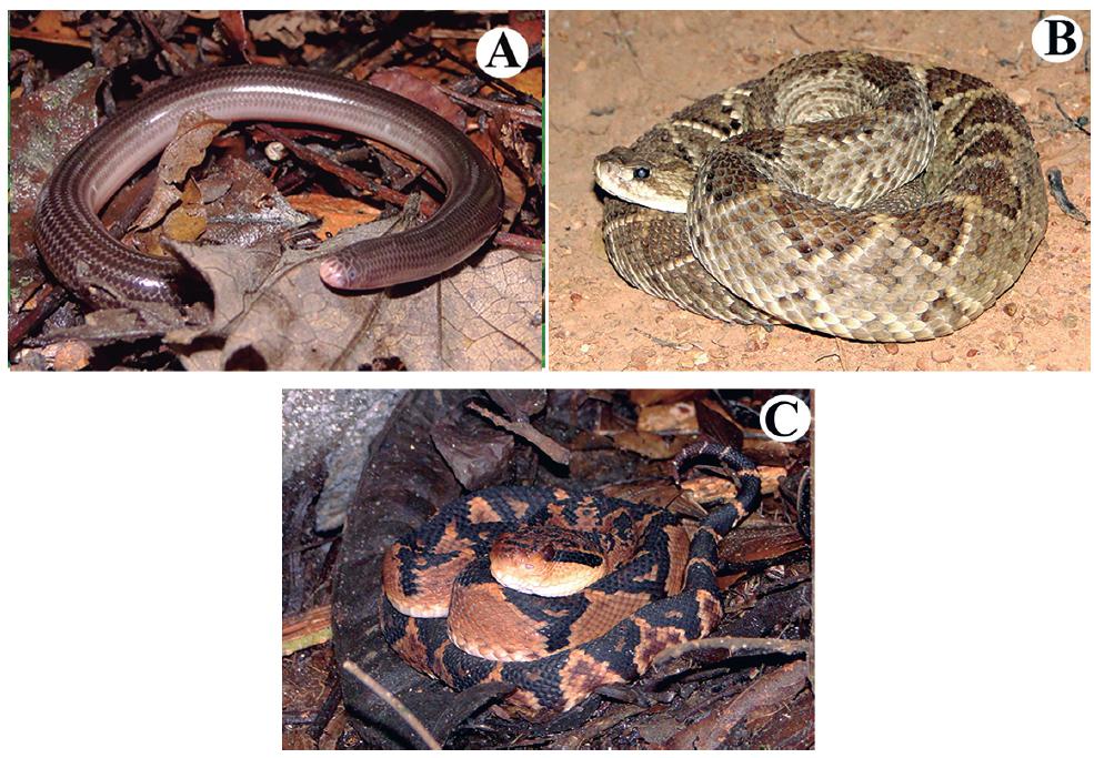 Reptile species recorded at the Serra do Urubu mountain range. (A) Amerotyphlops arenensis, (B) Crotalus durissus, (C) Lachesis muta.