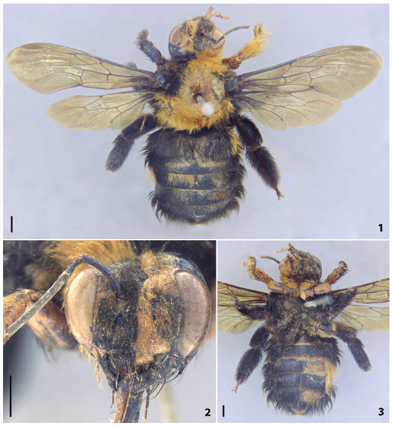 Gynandromorph of Xylocopa (Neoxylocopa) brasilianorum from Jundiaí, São Paulo (Brazil). (1) Habitus in dorsal view. (2) Head in frontal view. (3) Habitus in ventral view. Scale bars = 2 mm.