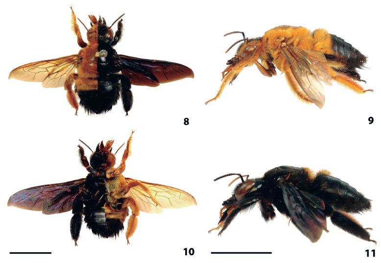 Gynandromorph of Xylocopa (Neoxylocopa) ordinaria from Itabaiana, Sergipe (Brazil). (8) Habitus in dorsal view. (9) Left side with male traits, in lateral view. (10) Habitus in ventral view. (11) Right side with female traits, in lateral view. Scale bars = 1 cm.