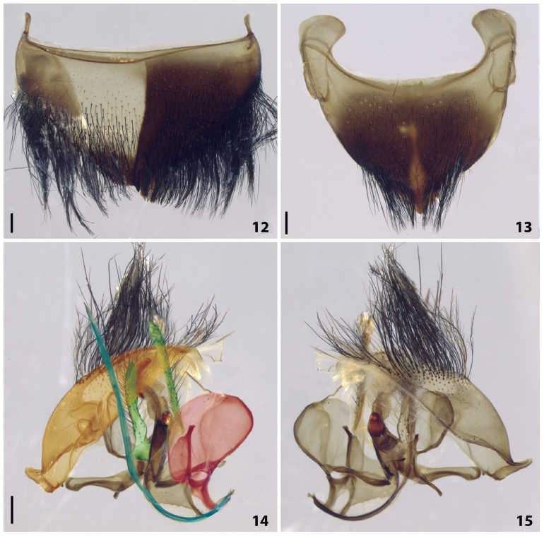 Gynandromorph of Xylocopa (Neoxylocopa) ordinaria from Itabaiana, Sergipe (Brazil). (12) Tergum 6 in dorsal view. (13) Sternum 6 in ventral view. (14) Genitalia in ventral view. (15) Genitalia in dorsal view. Green: gonostylus, orange: tergum 7 of male, red: hemitergite 7 of female, blue: lancet. Scale bars = 0.5 mm.