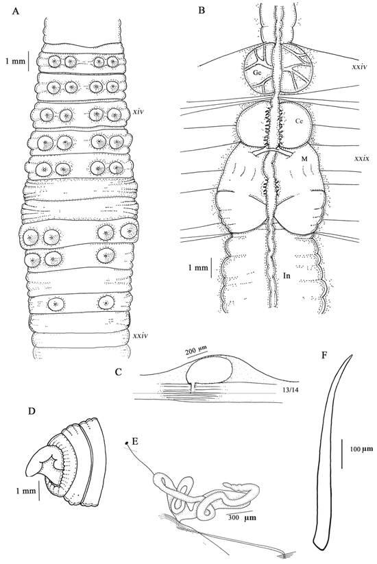 Tumak amari  sp. nov. (A) vista ventral, (B) vista dorsal interna, (C) espermateca, (D) pigidio, (E) nefridio, (F) cerda común. Gc: glándula calcífera, M: molleja, In: intestino, Ce: Cámaras esofágicas.