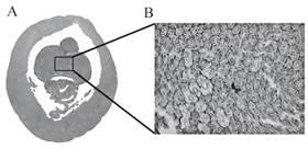 Tumak amari  sp. nov. (A) corte trasversal del segmento 24, (B) estructura de la glándula calcífera (tubos y tejido conectivo) en corte transversal.
