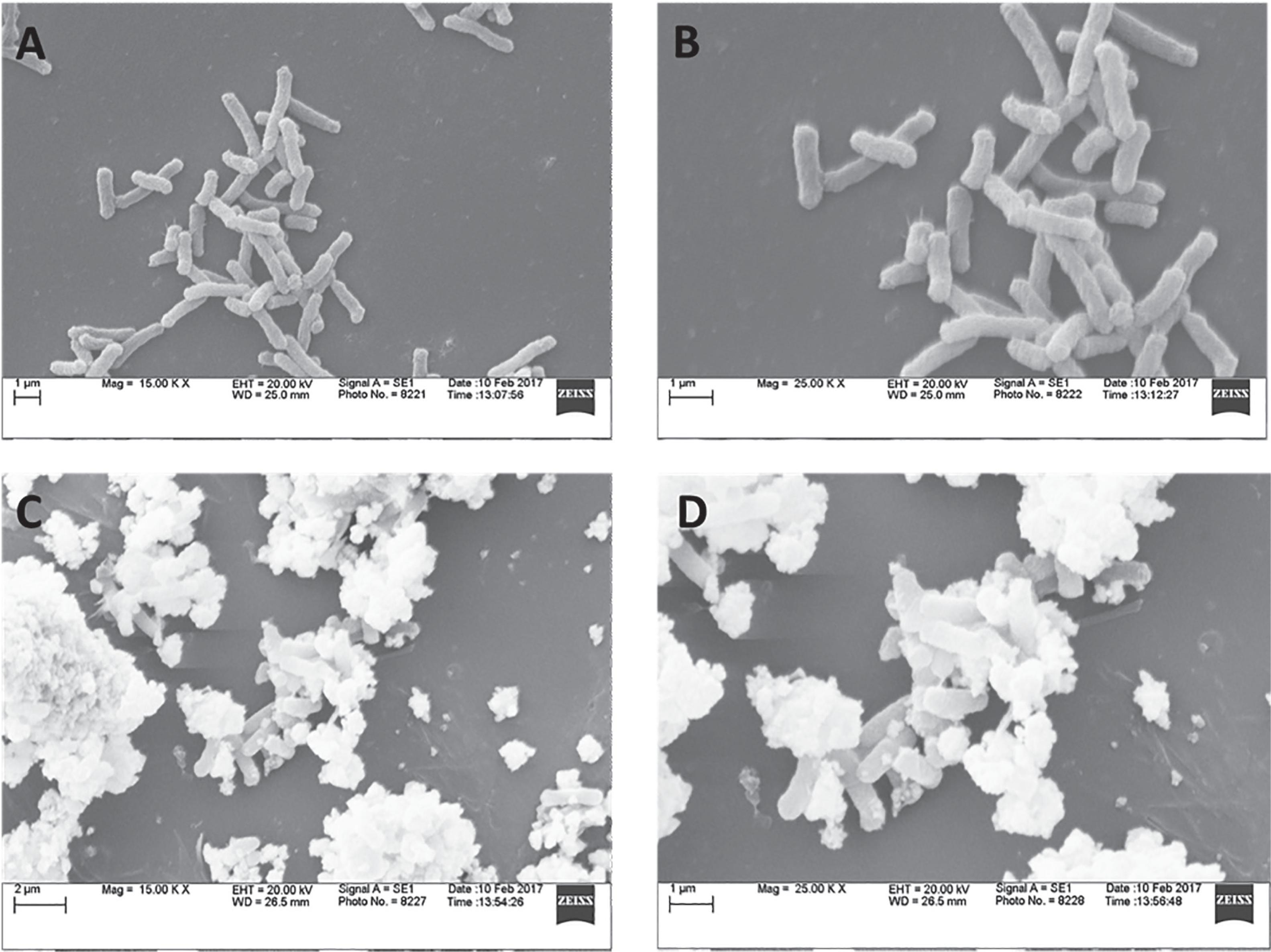 Evaluation of morphological changes in bacteria upon their interaction with AgPVP. A) Untreated bacterial cells at 15 K magnification; B) Untreated bacterial cells at 25 K magnification; C) Bacterial cells treated with AgPVP at 15 K magnification; D) Bacterial cells treated with AgPVP at 25 K magnification.