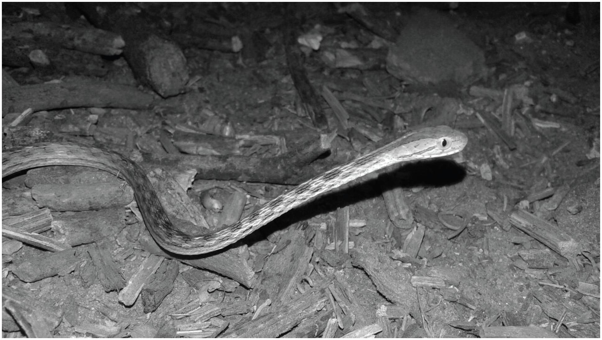The snake Thamnodynastes pallidus responsible for the accident