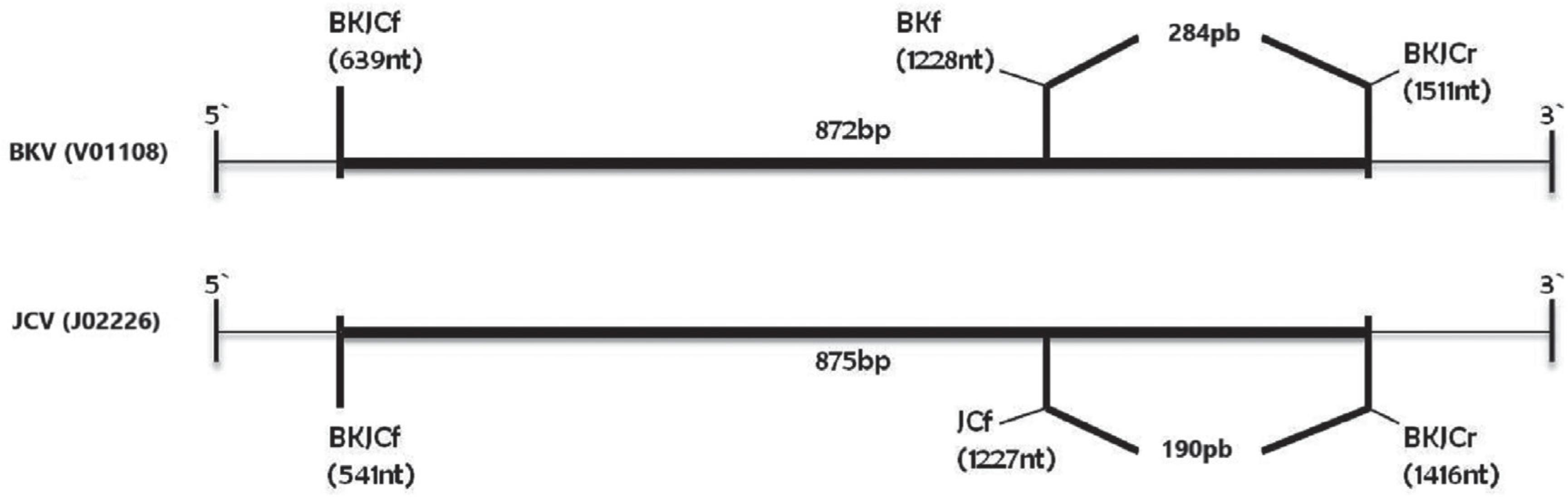 Product sizes in the 1st and the 2nd (nested) PCR in BKV (V01108, Dunlop strain) and JCV (J02226, Mad1 strain) VP2 sequences