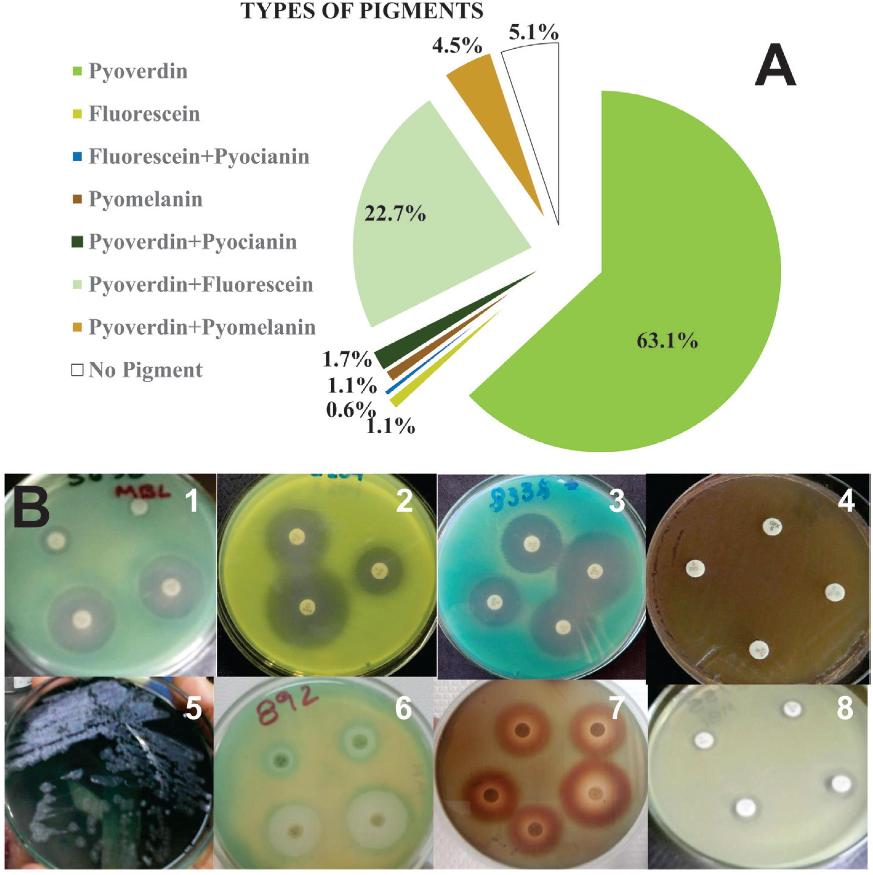 Relative frequency of types of pigments produced by P. aeruginosa strains: A) Examples of different pigments and pigment combinations produced in Mueller-Hinton agar with antibiotics; B) 1: pyoverdine, 2: fluorescein, 3: fluorescein + pyocyanin, 4: pyomelanin, 5: pyoverdine + pyocyanin, 6: pyoverdine + fluorescein, 7: pyoverdine + pyomelanin, and 8: no pigment.