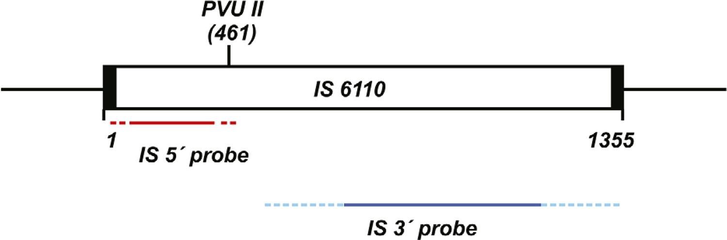 Schematic representation of the 6110 insertion sequence (IS), present in the Mycobacterium tuberculosis genome, cleaved by the Pvu II endonuclease yielding two fragments8 used as probes in restriction fragment length polymorphism 3' IS6110 and 5' IS6110 genotyping studies.