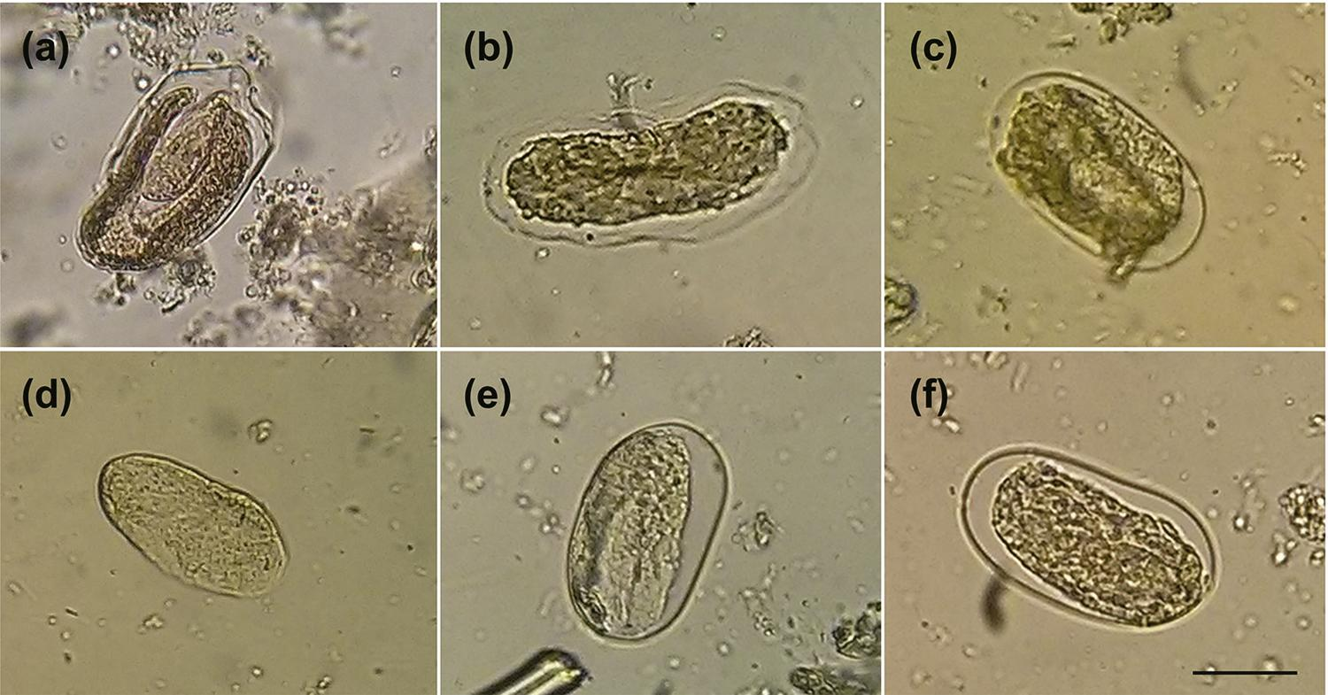 - Effect of Carica papaya seed hexane extract on the development and cuticle integrity of Strongyloides venezuelensis eggs. Fifty specimens were treated with the crude extract (a) or its 566 mg/mL concentration, (b) 5.66 mg/mL (c) and 5.66 mg/mL (d) dilutions, water (e), or PBS (f), for 48 h, at 28 ºC. Water and PBS were used as the negative controls. Images were captured at 40x magnification, scale bar 40 µm.
